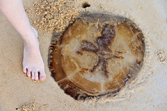 Giant medusa and a foot. Giant medusa on sand and a foot Stock Image