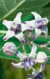 Giant Milkweed Flower Stock Image