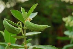 Giant Milkweed seed Royalty Free Stock Images
