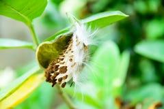 Giant Milkweed seed Royalty Free Stock Photo