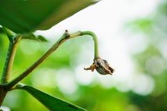 Giant Milkweed seed Stock Photo