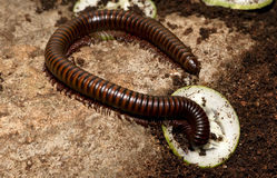 Giant Millipede feeding. Royalty Free Stock Photography