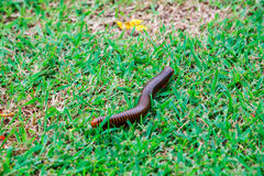 The giant millipedes Royalty Free Stock Image