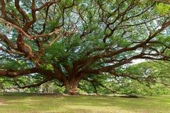 Giant Mimosa trees Royalty Free Stock Photo