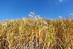 Giant Miscanthus Stock Image