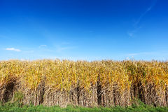 Giant Miscanthus Stock Photography