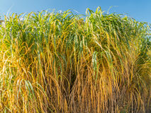 Giant Miscanthus grass Stock Photo
