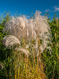Giant Miscanthus grass Royalty Free Stock Photos