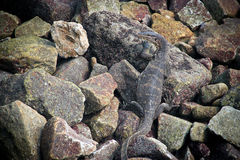 Giant monitor lizard hiding among the rocks Stock Photo
