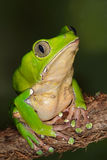 Giant Monkey Frog. Close-up of a perched giant monkey frog Stock Photography
