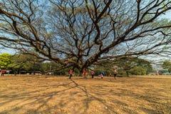 Giant Monkey Pod tree. Kanchanaburi, Thailand - February 17, 2018: Giant Monkey Pod tree, one of the recoomended travel destination for tourists in Kanchanaburi Royalty Free Stock Photography