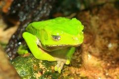 Giant monkey tree frog. (Phyllomedusa bicolor royalty free stock photo