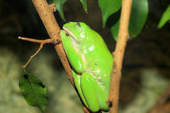 Giant monkey tree frog. (Phyllomedusa bicolor royalty free stock photos