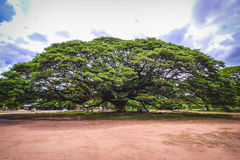 Large ancient tree stood alone in public national park of Thailand. Giant monkeypod tree stands firm in Kanchanaburi province, Tha Royalty Free Stock Images