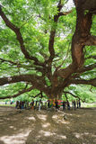 Giant Monky Pod Tree with people visited Stock Image
