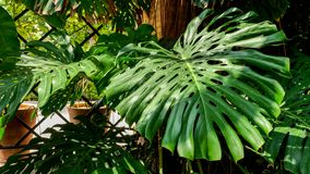 Giant monstera leaf. A giant monstera leaf in an outside public garden stock images