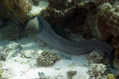 Giant moray Royalty Free Stock Photo