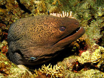 Giant moray Stock Images