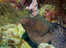 Giant Moray Stock Image