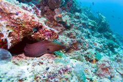 The giant moray Royalty Free Stock Photo