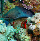 Giant moray Royalty Free Stock Images