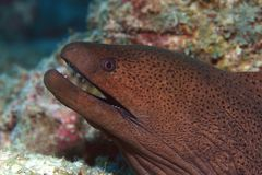 Giant moray Royalty Free Stock Photo
