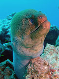 Giant Moray Royalty Free Stock Photos