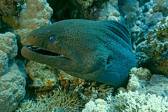 Giant moray on the coral reef Stock Photos