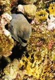 Giant Moray Eel Royalty Free Stock Image