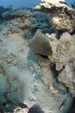 Giant Moray eel Royalty Free Stock Photo