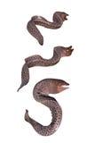 Giant moray eel stock images