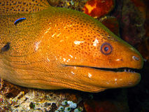 Giant Moray Eel. Maratua, Indonesia Stock Photography