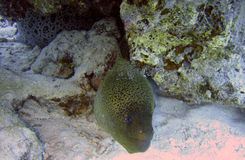 Giant moray eel Stock Images