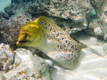 Giant moray eel. A giant moray eel searching for food in polynesian coral reef Royalty Free Stock Photos
