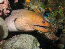 Giant Moray Eel & Cleaner Wrasse Royalty Free Stock Photo
