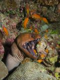 Giant Moray Eel & Cleaner Wrasse Royalty Free Stock Images
