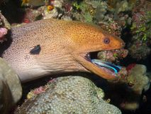 Giant Moray Eel & Cleaner Wrasse Stock Images