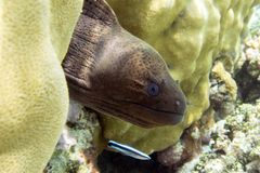Giant moray eel - close up, Maldives Royalty Free Stock Images