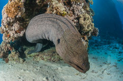 Giant moray eel Stock Photo