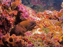 Giant Moray eel Royalty Free Stock Photography
