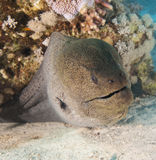 Giant moray eel on a coral reef Royalty Free Stock Images