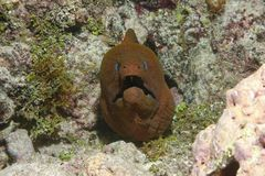 Giant moray eel face Gymnothorax javanicus. Giant moray eel face, Gymnothorax javanicus, underwater in the Pacific ocean, French Polynesia Stock Image