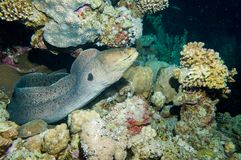 A giant moray eel royalty free stock images