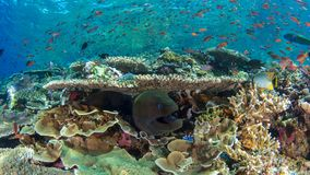 Giant moray eel and reef fish Royalty Free Stock Photos