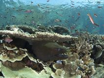 Giant moray eel and reef fish Stock Photos
