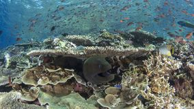 Giant moray eel and reef fish Royalty Free Stock Photo