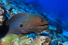 Giant moray eel. & x28;Gymnothorax javanicus& x29; underwater in the indian ocean stock photo