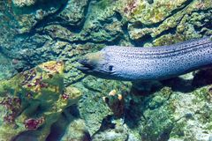 Giant moray eel (Gymnothorax javanicus). Moray eel (Gymnothorax javanicus) The moray is widespread in the Indo-Pacific region.  This is a large eel Stock Image