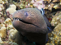 Giant moray. Eel head close up Royalty Free Stock Photography