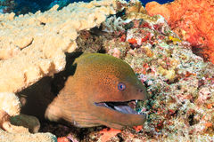Giant Moray Eel Stock Photos
